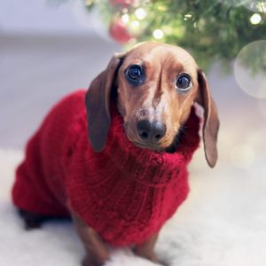 dachshund wearing sweater